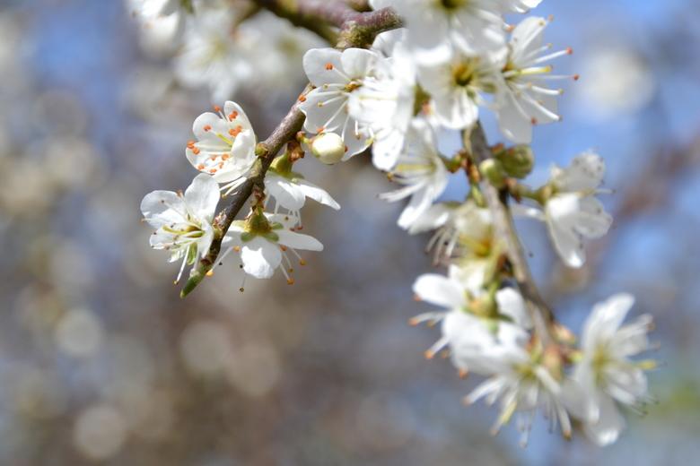 Blooming! - Tijdens een wandeling over een oud spoor in Ierland kwamen we deze boom tegen. Prachtig in de bloei! Die kon ik niet zomaar voorbij lopen.