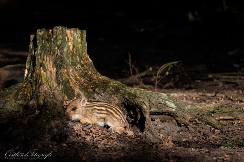 Slapen in het zonlicht - Het bos was vrij donker, maar tussen de (nog) kale takken scheen de zon fel. Dit biggetje besloot een tukkie te doen in het z