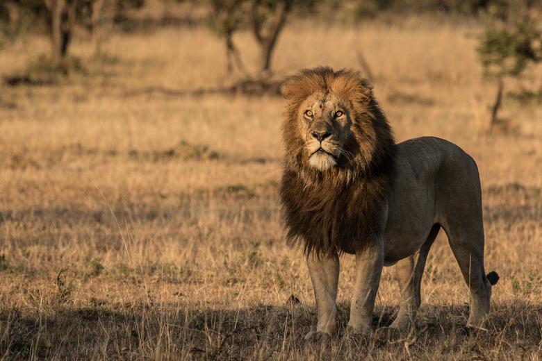 Leeuw in ochtendlicht - Deze leeuw liep recht naar onzo safaritruck in de Naboisho Conservancy, een natuurgebied dat verbonden is met de Masai Mara in