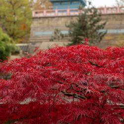 vlammend rode herfstkleur