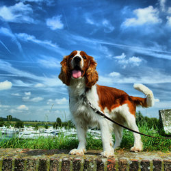 my welsh springer spaniel