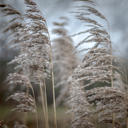 Riet in de wind