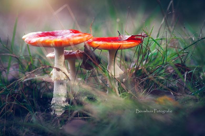 Echt herfst - Mooie familie paddenstoel in het bos bij Austerlitz.