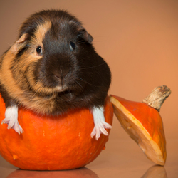 Guinea-pumpkin