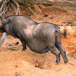 primitief Aziatisch varken 1701298785mfw
