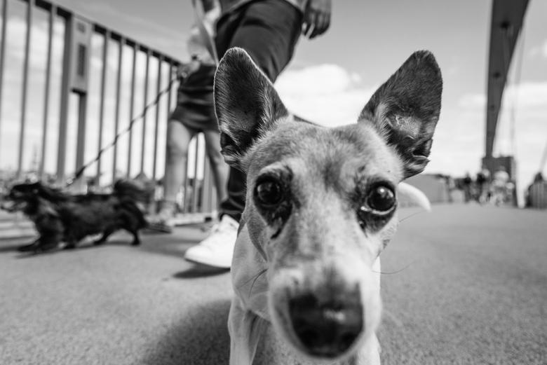 Maastricht Streets - Portret van een hond op straat in Maastricht