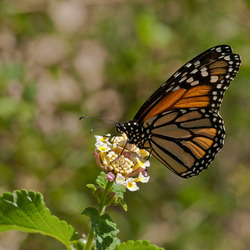 Monarchvlinder  macro