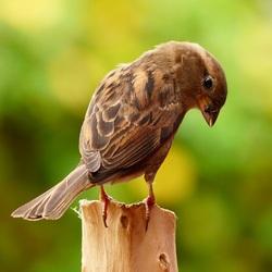 Ms Sparrow
