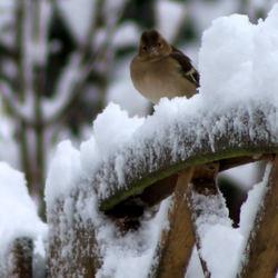 Vogeltje in de sneeuw