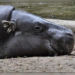 Dwergnijlpaard