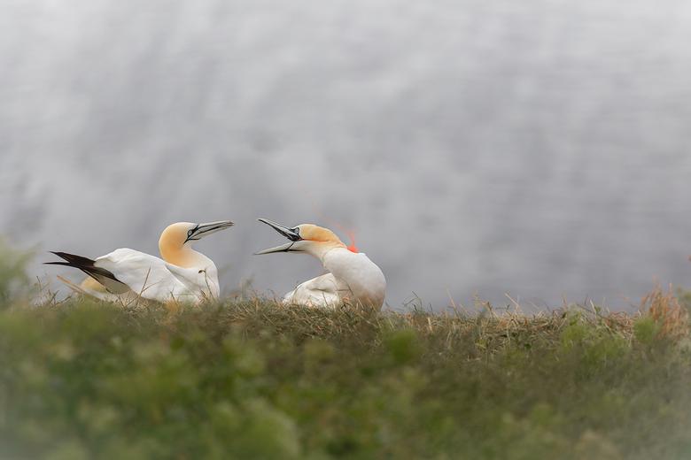 plastic and nature  - Helgoland , waar iedereen vol lof over spreekt over het zien van de Jan Van Gent ,prachtige vogels die zo liefelijk met elkaar o