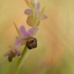 Een hele mooie orchis uit de  viroinvallei