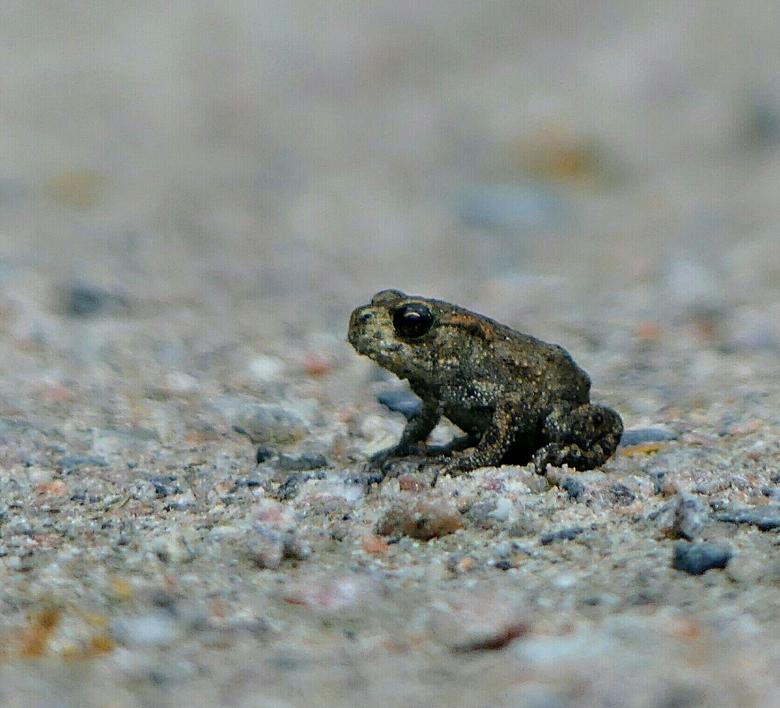 Froggy - Niet  groter dan een vingernagel is dit padje. Ik zag ze bij tientallen.
