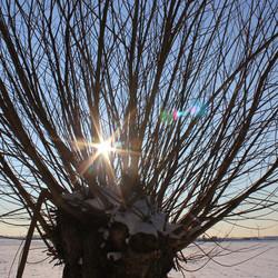 Knotwilg in winterzon