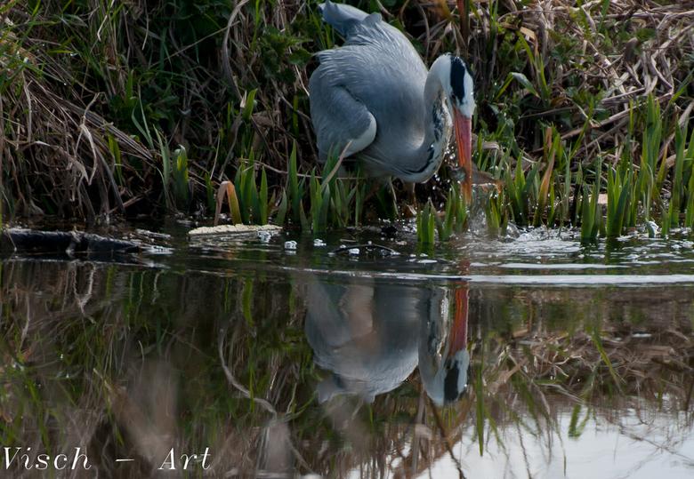 Reiger valt in het water (2) zie ook (1) - De Reiger zat wel degelijk op te letten en komt hier mooi weer boven met een visje in zijn bek. Deze wordt