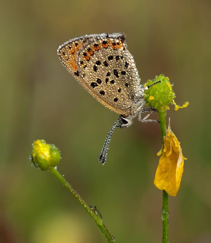 Fragile - Aangezien het vlinderseizoen nog niet echt begonnen is......bij deze een upload van de bruine vuurvlinder van verleden jaar.<br /> Deze tij