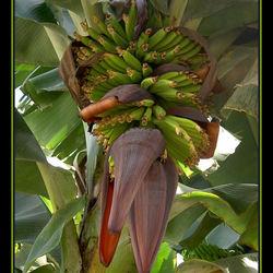 Chiqita's bananas?