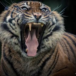 De Ogen van de Sumatraan ...
