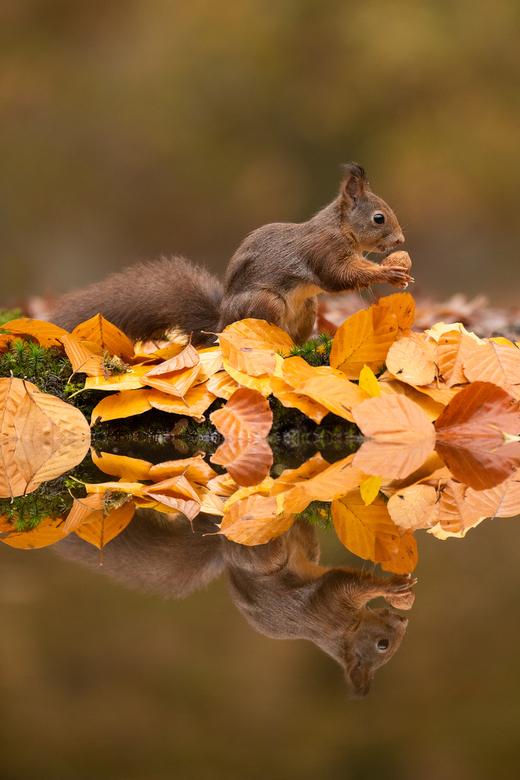 Autumn Squirrel -