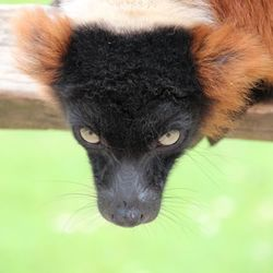 Rode maki, lemur
