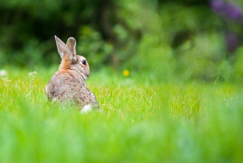 Het hazenpad gekozen - Dit konijntje of haasje? <br /> Ging nadat ik 2 foto&#039;s heb kunnen maken er snel vandoor, jammer.<br /> Ik had graag nog