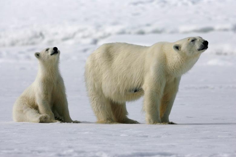 Samen met de neus de lucht in - Deze foto is al van een hele tijd geleden. Van ijsberen zijn al erg veel foto's gemaakt. Het blijft een uitdaging