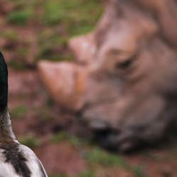 Eend vs Neushoorn