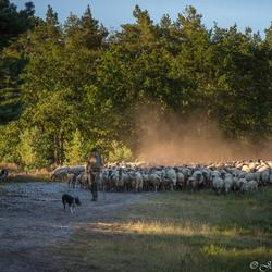 Shepherd and his herd