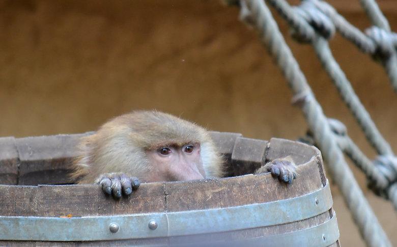 Verstoppertje spelen. - Baviaan verstopt zich in een ton, foto uit de Kölner Zoo.
