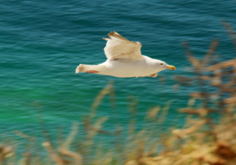 in de vlucht - meeuwen kunnen mooie duikvluchten maken langs de stranden van normandie