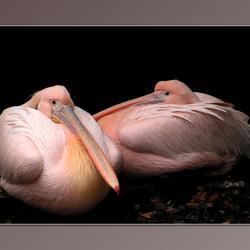 Bewerking: Roze Vogels