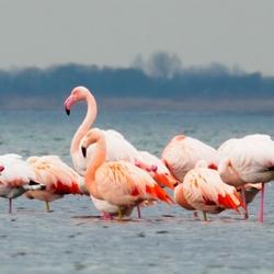Flamingo's in Grevelingenmeer