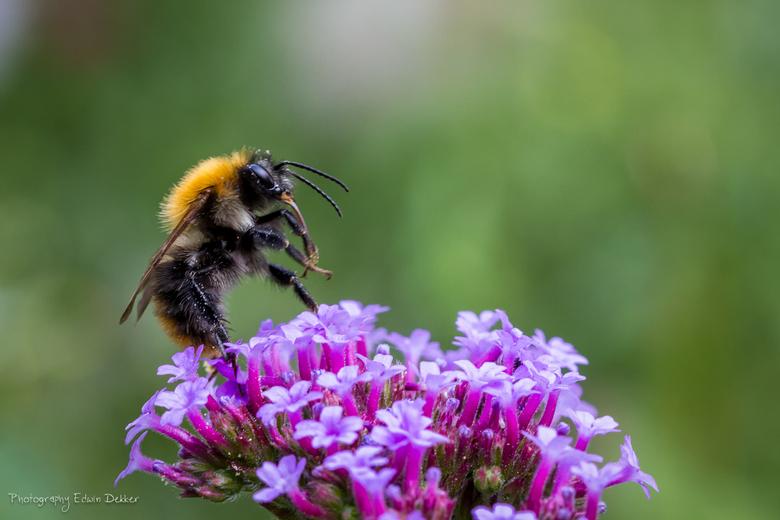 Flight of the Bumblebee - Hommeltje vliegt net op na het doen van zijn ding