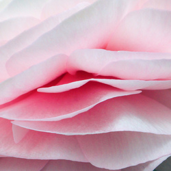 Roze!