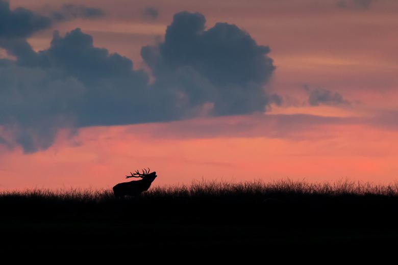0212F624-2744-4BFF-81CA-FC650C0A8A72 - Burlend hert boven op een heuvel bij ondergaande zon op de Veluwe