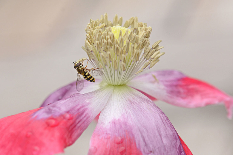 Terrasjeskommazweefvlieg. - Deze zweefvlieg doet zich tegoed aan het stuifmeel van onze klaproos. Terrasjeskommazweefvlieg is de naam. (Met dank aan L
