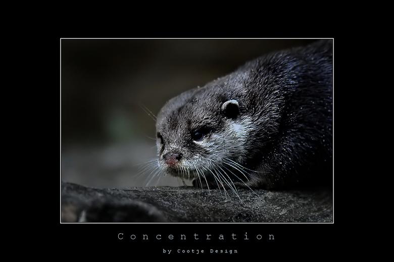 Concentration - Deze otter zat heel geconcentreerd te kijken naar het water, dan weer erin, dan weer eruit, hij heeft hier wel 5 seconden stil gezeten