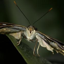 Closeup vlinder