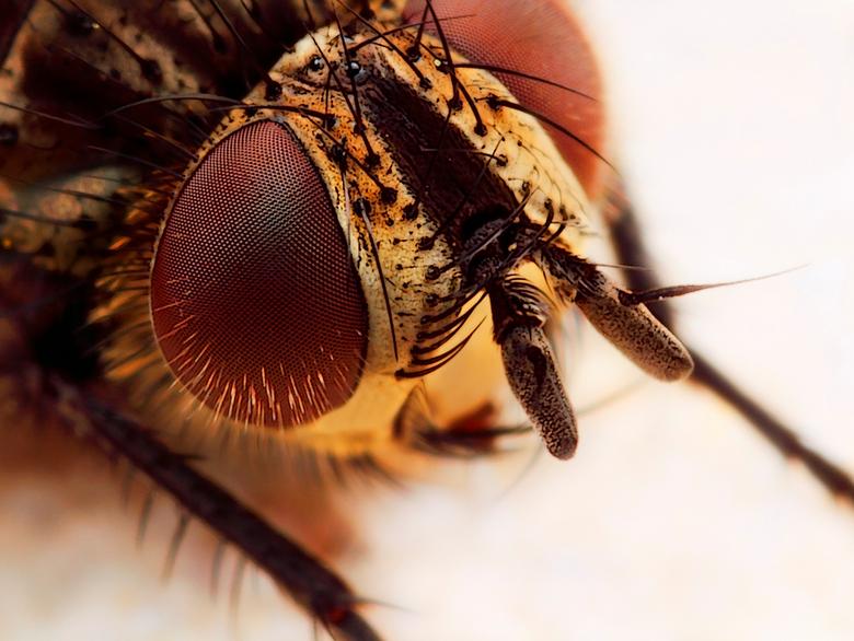 Wat moet je  - kleintje?  Portret vlieg, gemaakt met vergrotingsfactor 6, f/11, ISO 100 en 1/250 sec. De grote versie is te zien op<br /> <br /> <a