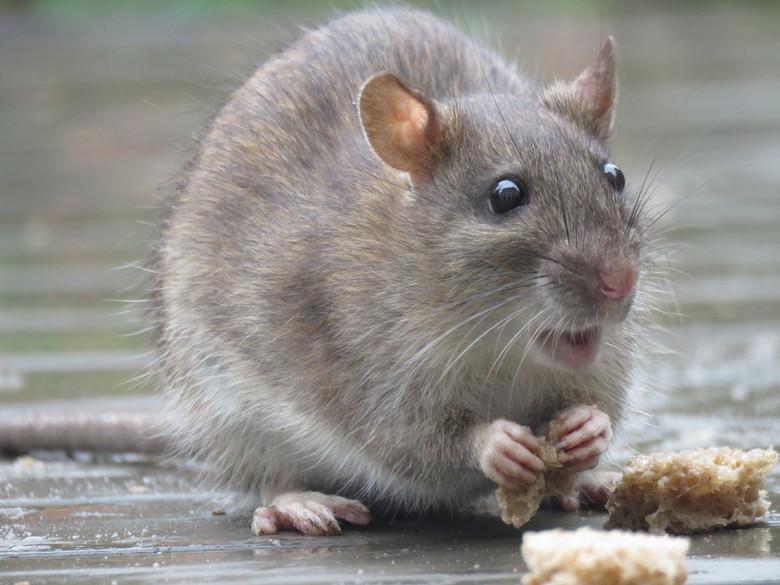 Lekker smikkelen - Deze bruine rat kwam meermaals brood halen. Af en toe nam ie zich de tijd om tussen door wat te eten. Soms nam ie 3 stukjes brood i