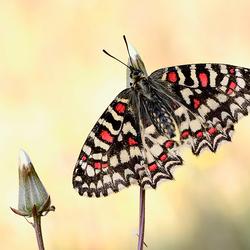 Spaanse Pijpbloemvlinder