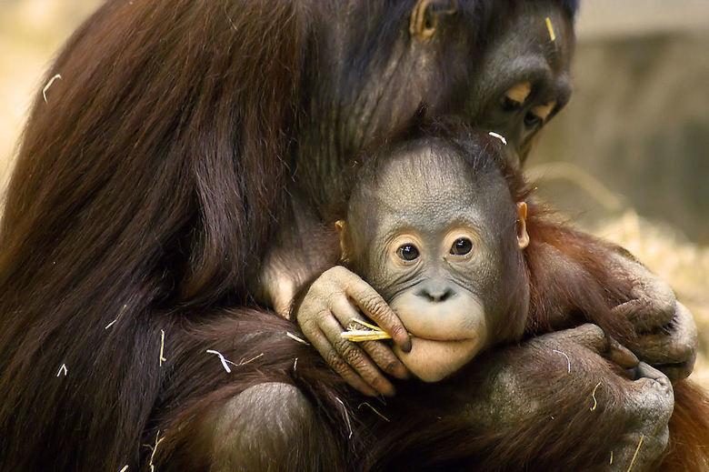 Vrije Rookzone - Heel even leek het of deze Orang Oetan een sigaretje aan het roken was.
