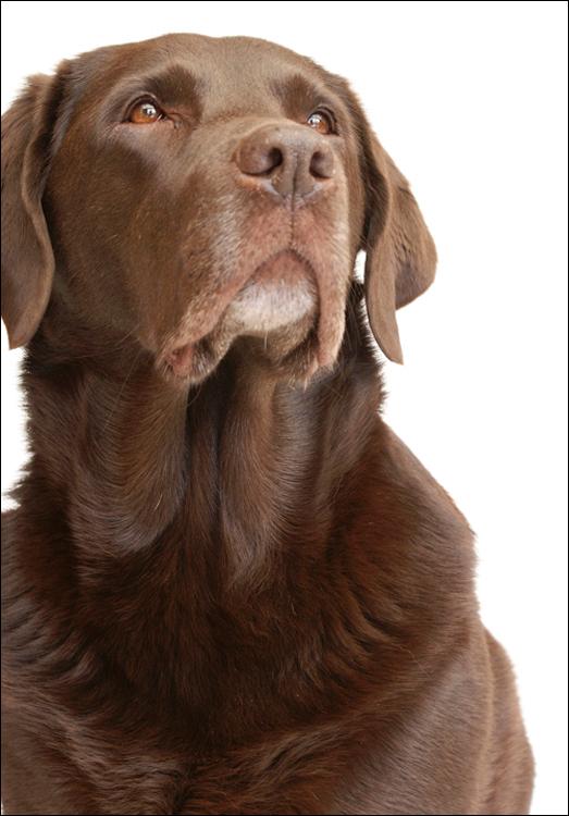 Noa - Bruine Labrador