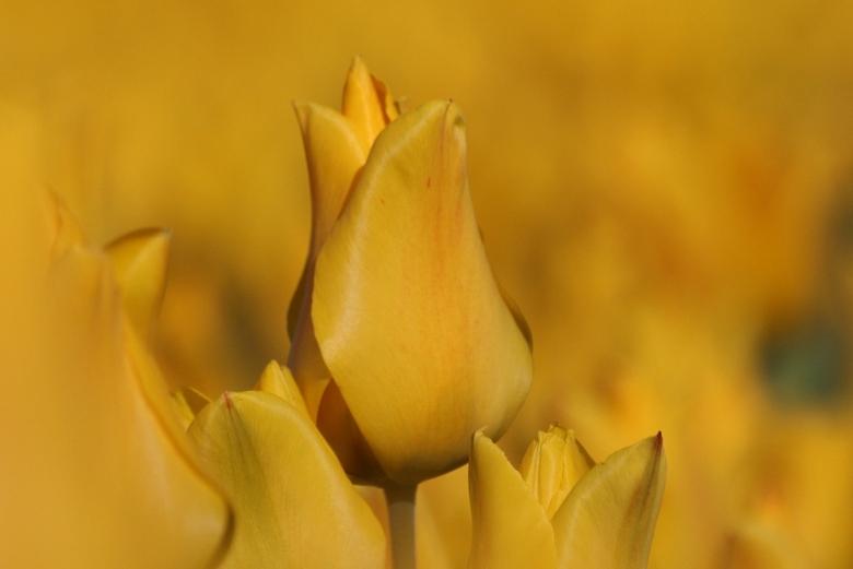 Tulpen - Van het weekend naar de tulpen velden geweest, we waren er niet alleen. Maar wat een kleuren en vormen prachtig.