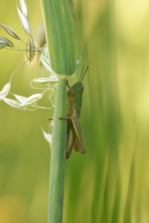 Krekeltje - krekeltje in het lange gras vrolijk springend heen en weer klaar voor weer een warme dag.<br /> 26-6-2020
