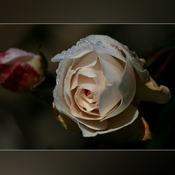witte roos..