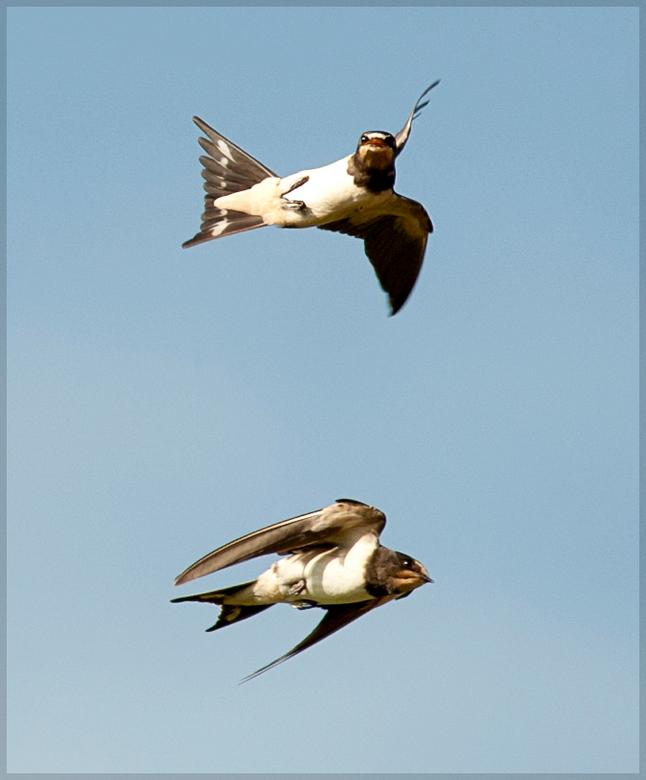 Boerenzwaluw - Een van de grootste uitdagingen . Een vlucht foto van een boeren zwaluw . Niet gemakkelijk.<br /> <br /> Gr