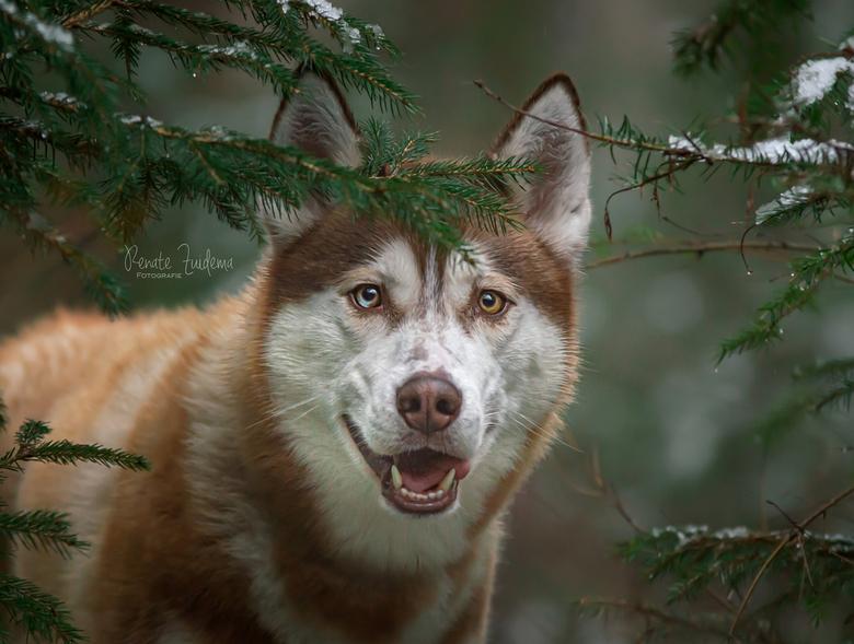Happy Husky - Husky mylo tussen de dennebomen met nog een klein beetje sneeuw erop.