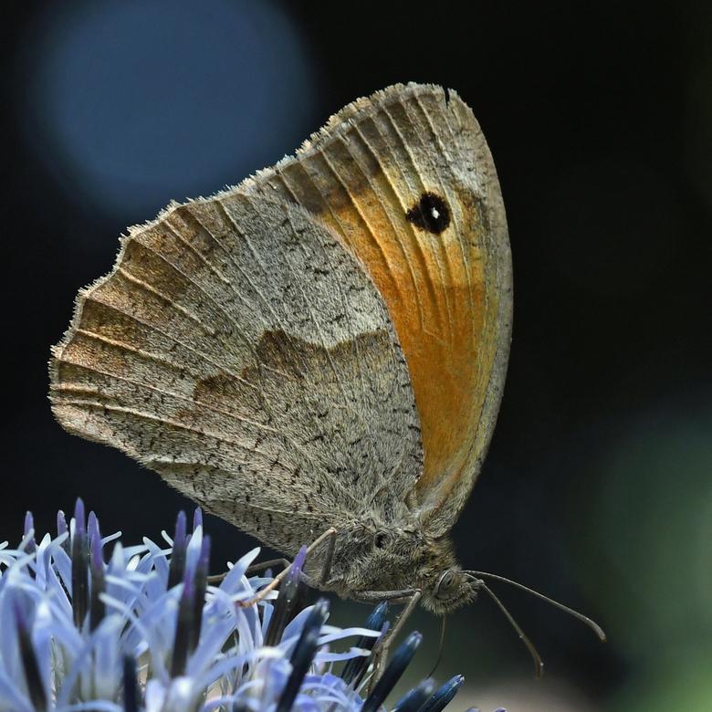top 10 vlinder - Het bruin zandoogje is bij de landelijke tuinvlinder-telling in de top 10 geëindigd.<br /> Nou ja, geëindigd... Hoewel de telling of
