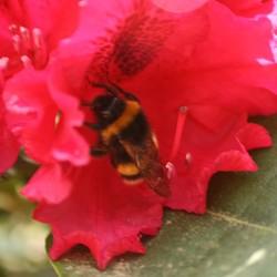 Bij in Rhododendron
